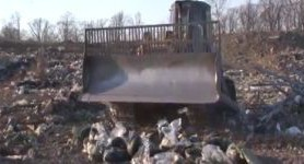 Batch of caviar worth of almost $500,000 destroyed with dozer in Russia`s Khabarovsk. VIDEO